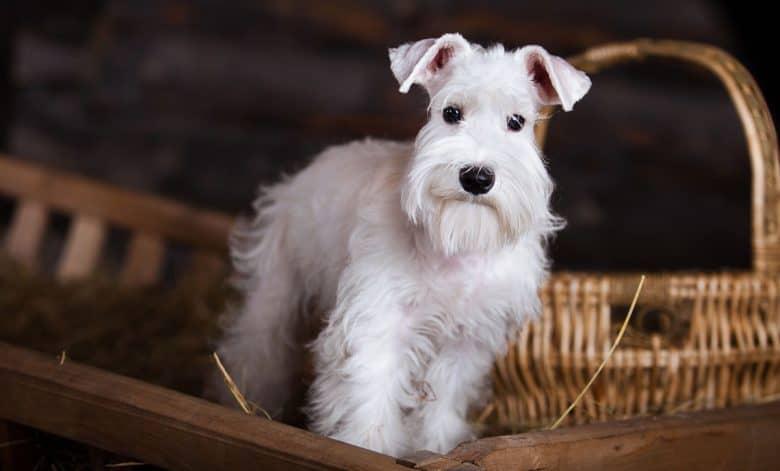 Lovely white miniature schnauzer dog