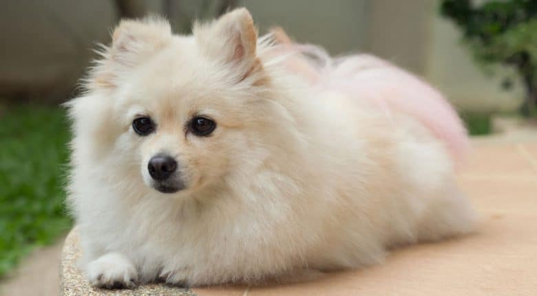 White Pomeranian dog portrait