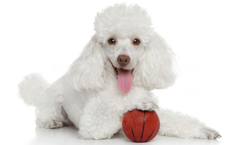 White Poodle dog playing ball toy