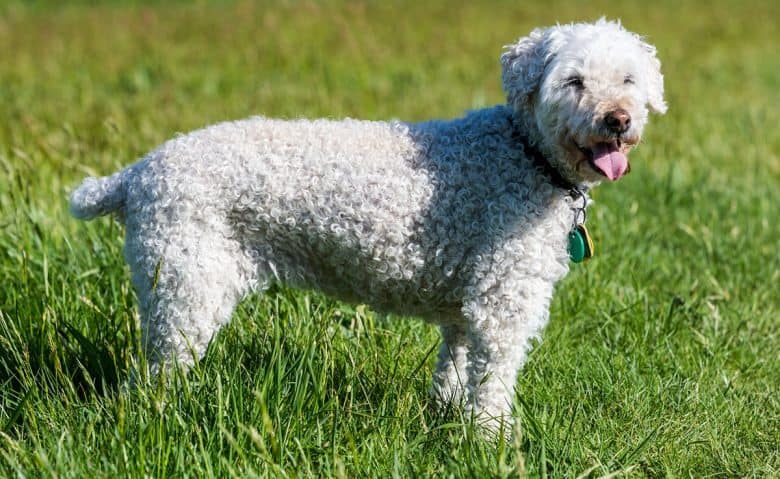 White Poodle dog standing on the grass