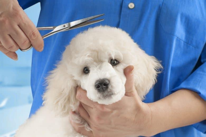 A white Poodle having a haircut in a dog salon