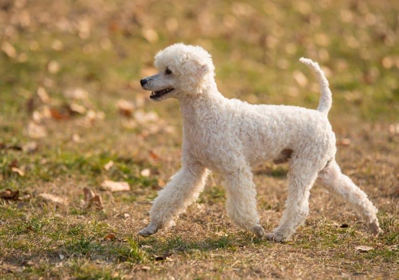 White Poodle walking on a lawn