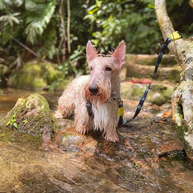 A wet white Scottie dog after swimming in a stream
