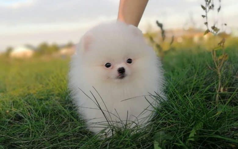 A white Miniature boy Pomeranian on grass