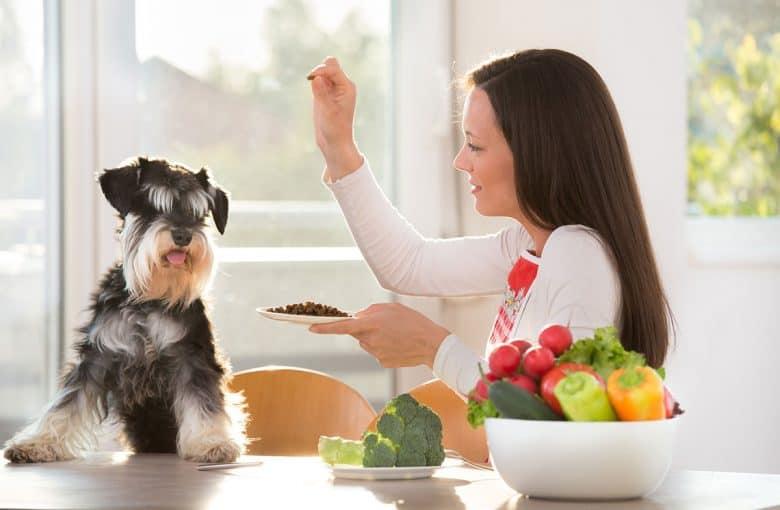 Woman feeding a Miniature Schnauzer dog