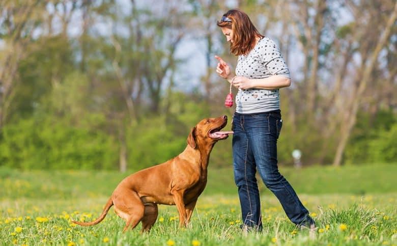 Woman train her Rhodesian Ridgeback dog on the meadow