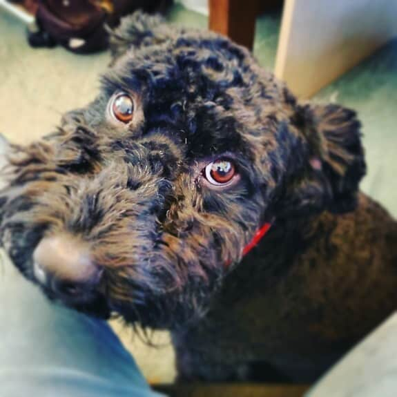The eyes of a wonderer Kerry Blue Terrier