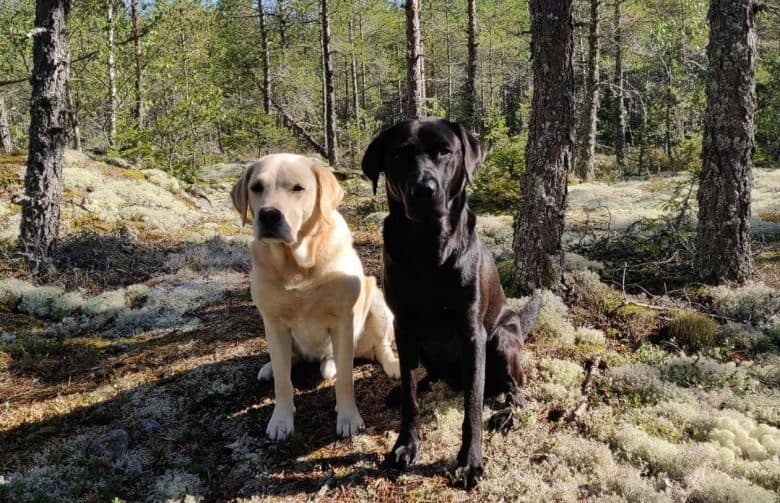 Yellow and black American Labrador dogs