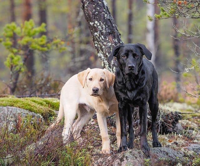 Yellow and black Labrador Retriever dogs