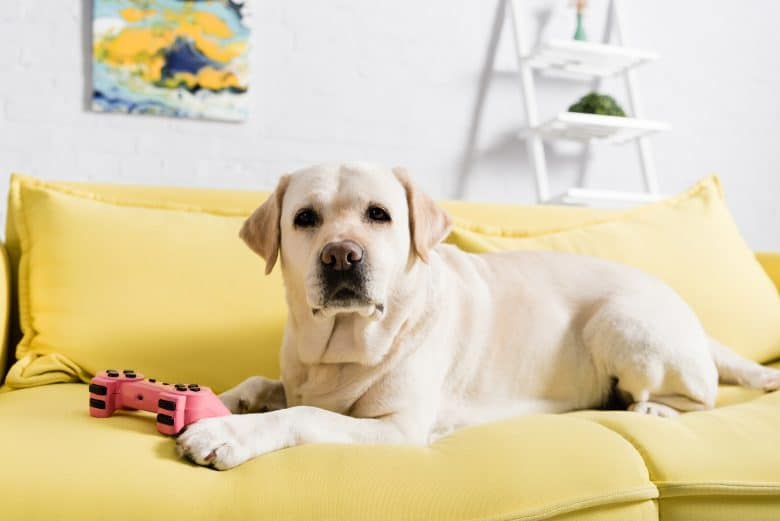 Yellow Labrador Retriever dog lying on the sofa