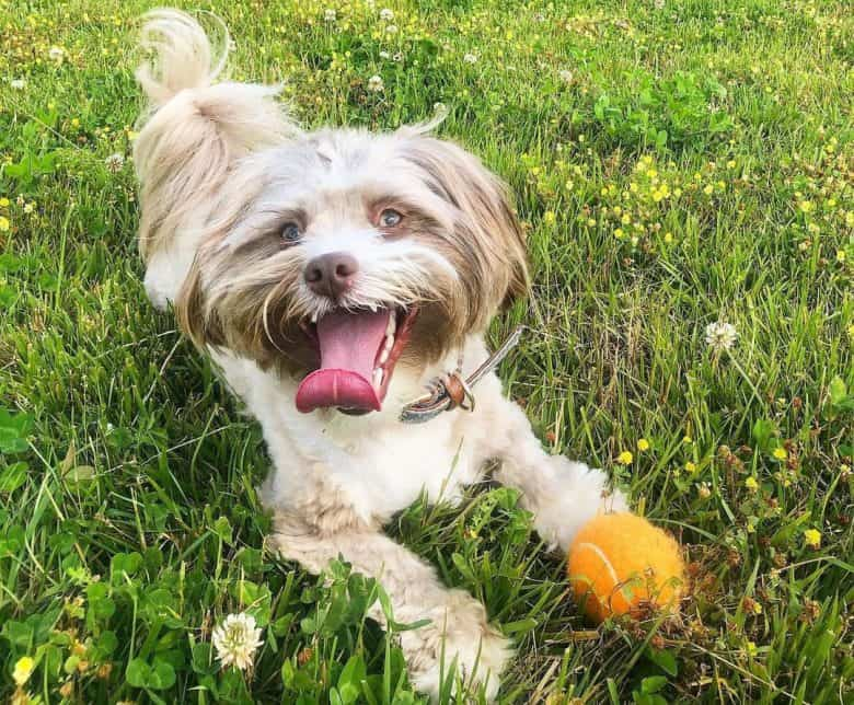 Yorkie Aussie mix dog playing on the field