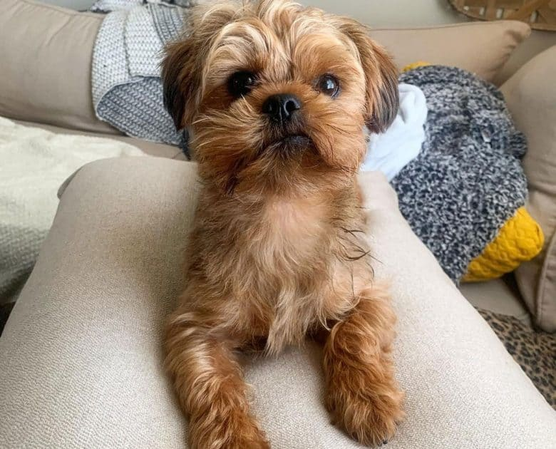 Portrait of Yorkshire Terrier and Shih Tzu mix dog
