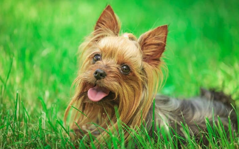 Yorkshire Terrier dog panting in the grass