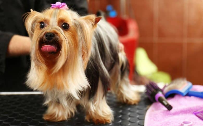 Yorkshire Terrier dog with a 3-layered stock haircut