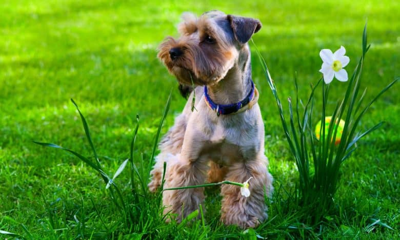 Yorkshire Terrier with a Schnauzer trim style