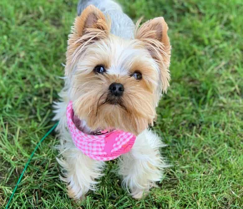Yorkshire Terrier dog with squared puppy haircut