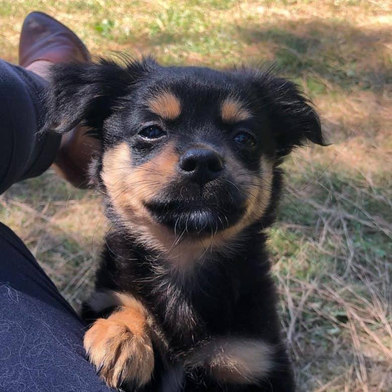 Young Auss-Tzu mix dog portrait