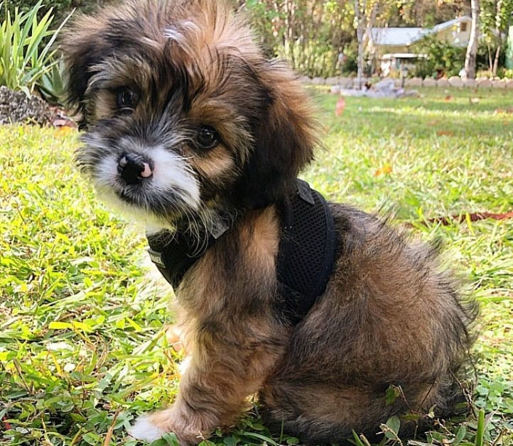 Young Australian Shepherd and Shih Tzu mix dog