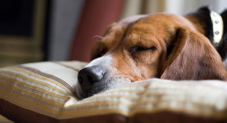 Young Beagle dog sleeping on his pillow
