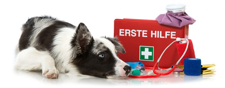 Young Border Collie dog with first aid kit