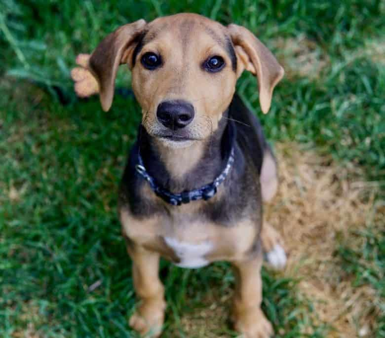 Young Lab Hound mix sitting on the grass