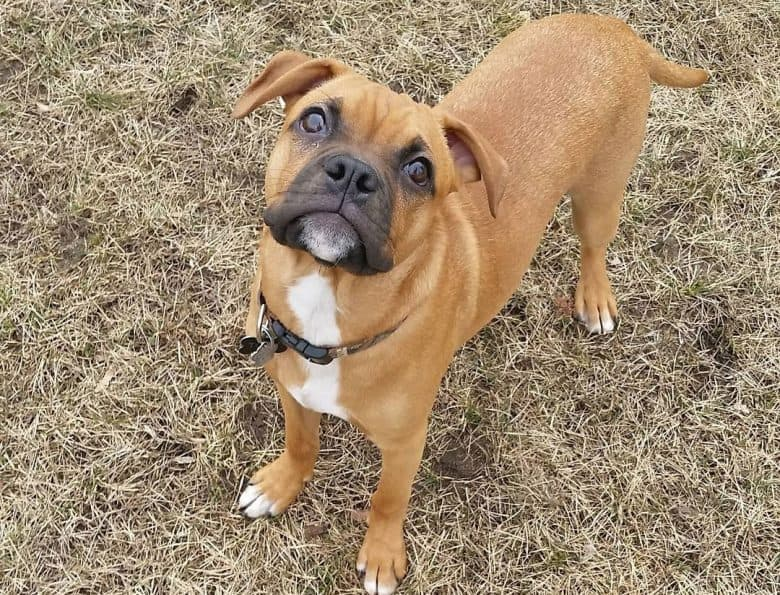 Young Miniature Boxer dog looking at the owner