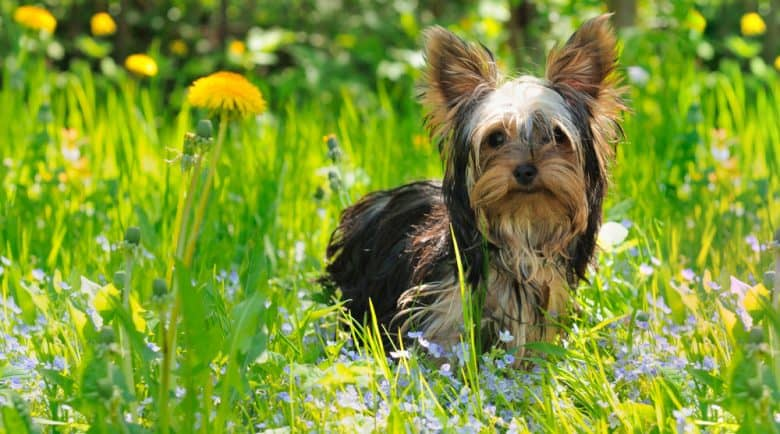 Young Yorkshire Terrier dog in the meadow