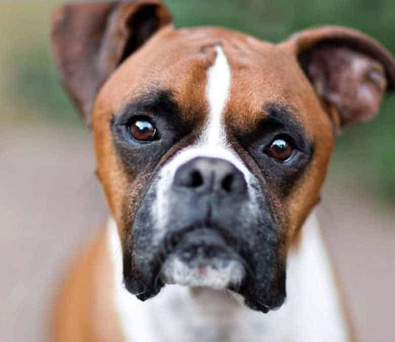 Adorable Boxer dog portrait