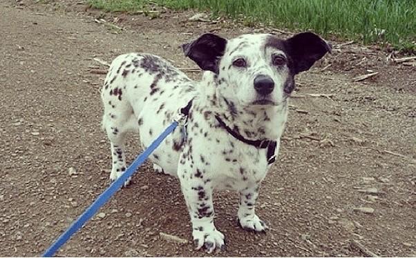 A cute Corgmatian on a walk wearing a leash
