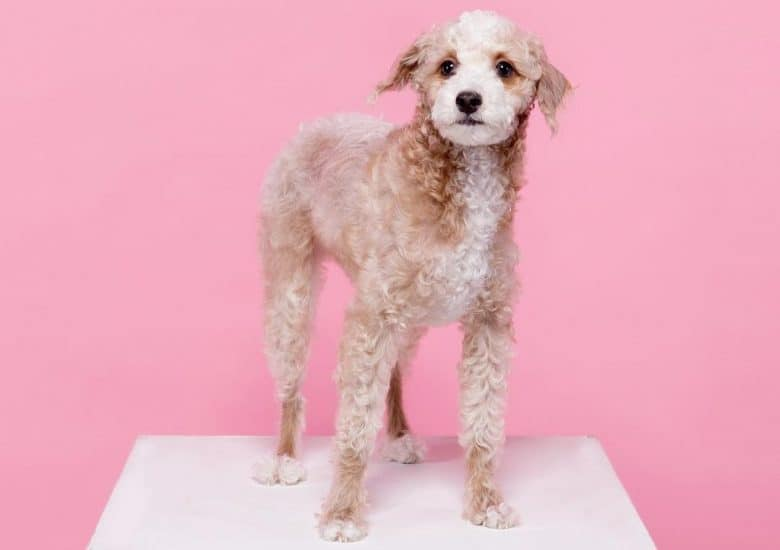 A Grey Poohound standing with pink background