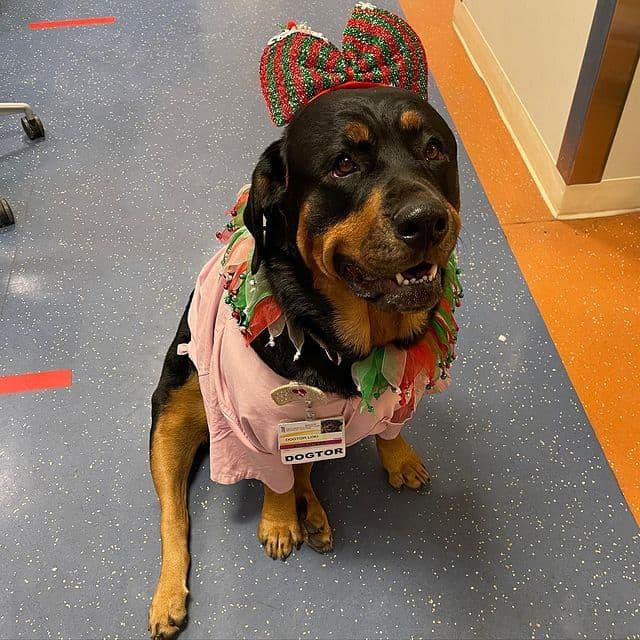 Cute Rottweiler wearing a costume sitting on hospital floor