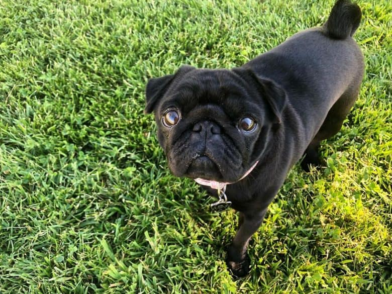 A solid black Pug on grass