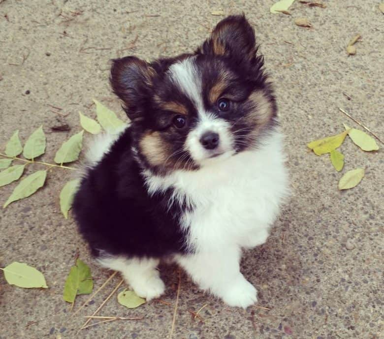A charming Yorkie Pom mix puppy sitting with leaves