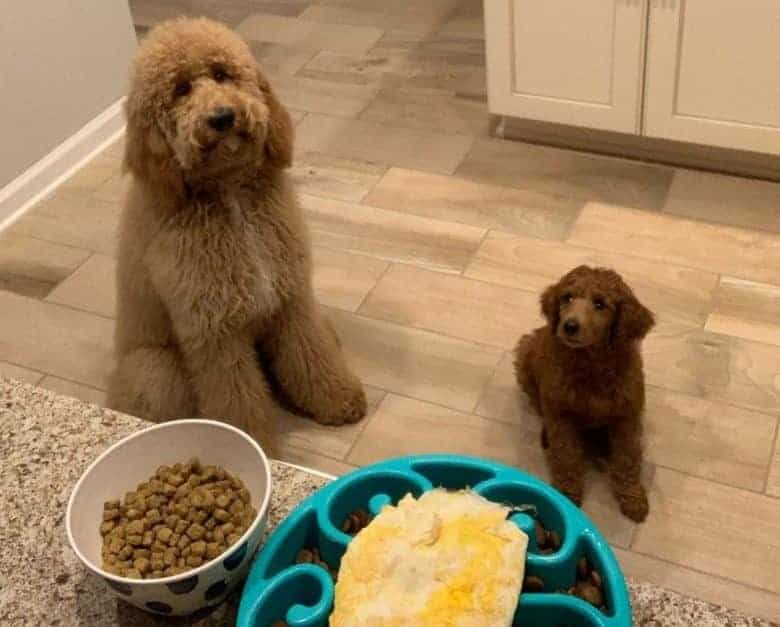 Adult and young Poodles with their dog food