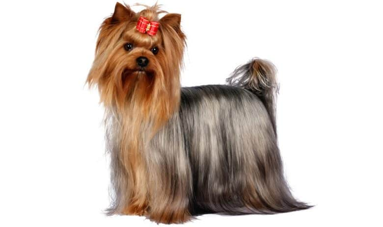 Adult Yorkshire Terrier dog portrait
