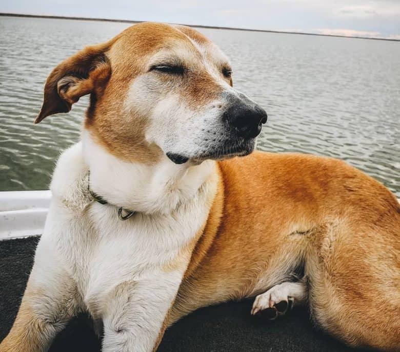 A Walker Greyhound closing eyes and enjoying the wind