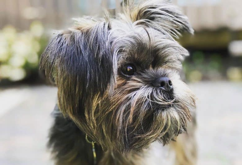 Affenpinscher and Yorkie mix dog portrait