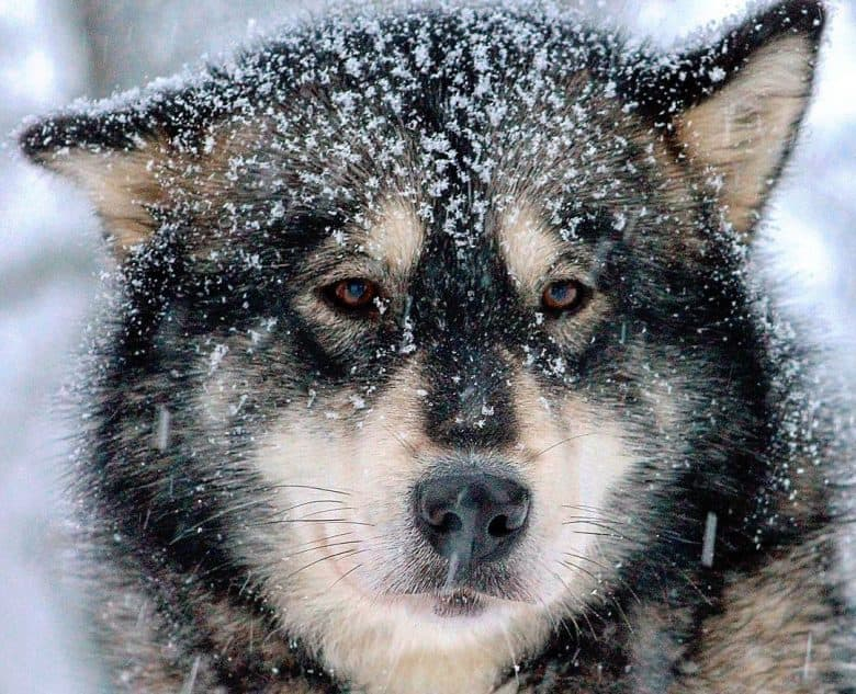 Agouti Alaskan Malamute dog with snow flakes on its hair