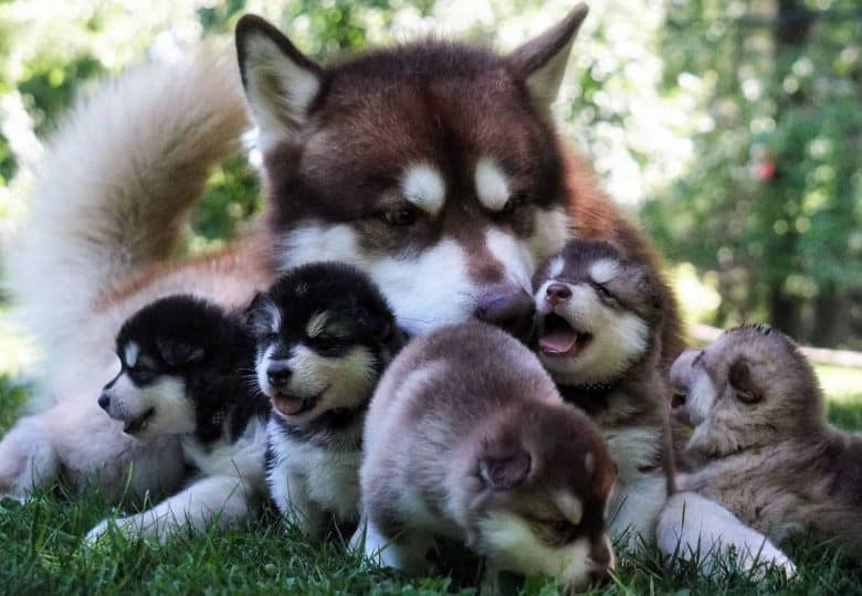 Alaskan Malamute mother with her puppies