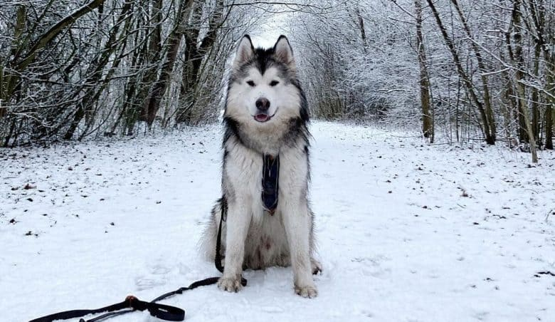 An Alusky having a snowy adventure in a forest