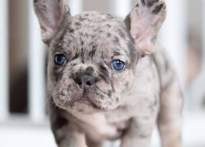 Amazing blue-eyed French Bulldog portrait