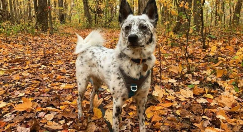 American Eskimo Blue Heeler mix dog exploring in the woods
