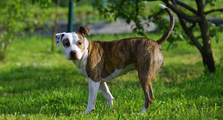 American Staffordshire Terrier dog roaming outside