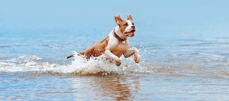 American Staffordshire Terrier running at the water