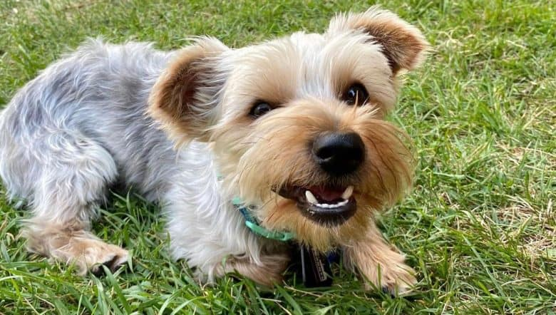 Angry young Yorkshire Terrier dog lying on the grass