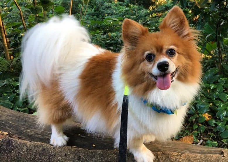 An active Pom Terrier on a hike