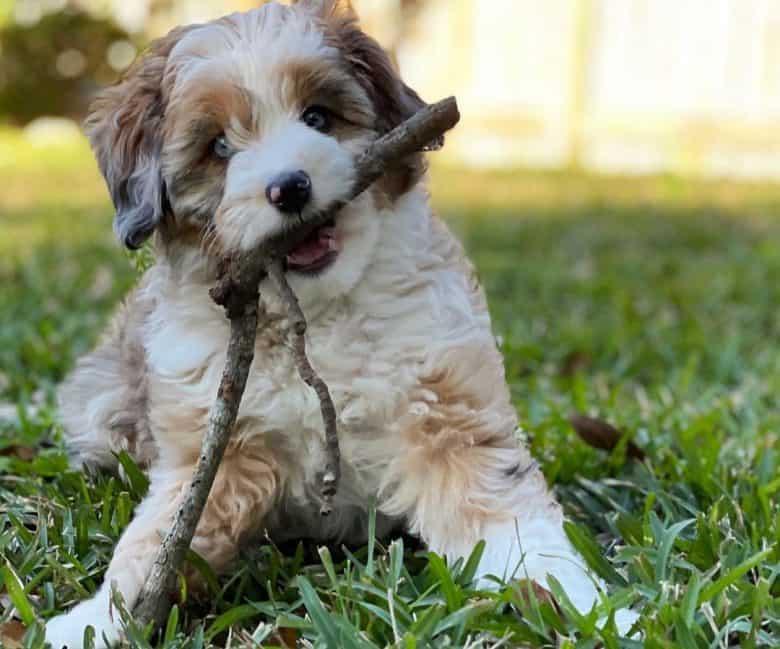 Australian Shepherd Poodle mix dog chewing a branch stick