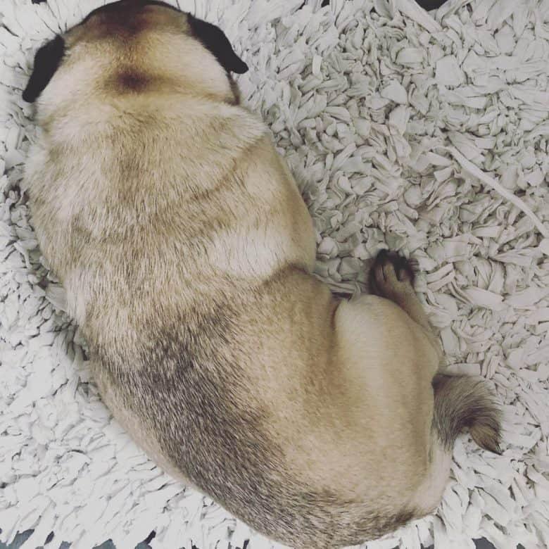 A Pug laying down with thumbprint