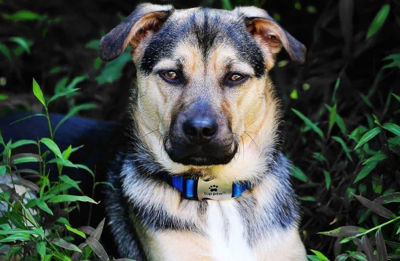 Badass portrait of German Shepherd Jack Russell mix dog
