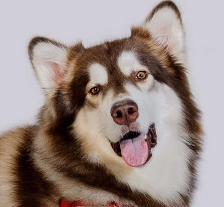 Bar marked Alaskan Malamute dog portrait